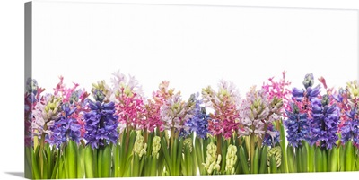 Hyacinths Flowers Blooming In Spring