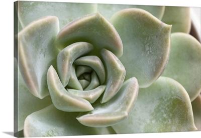 Macro Of A Succulent Plant