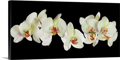 Many Yellow Orchid Flowers
