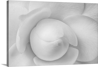 Monochrome Center Heart Of A Young White Camellia Blossom