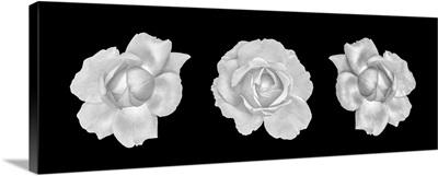 Monochrome Rose Blossoms