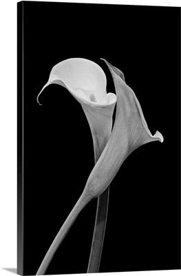 Monochrome Surrealistic Pair Of Calla Blossoms