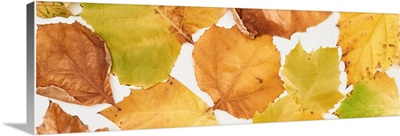 Panoramic Shot Of Bright Yellow Leaves Of Maple Isolated On White