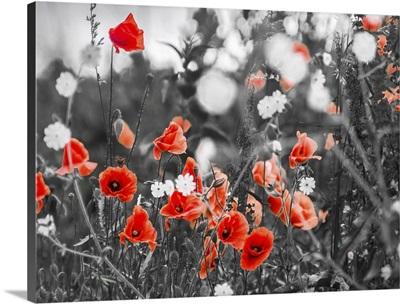 Red Poppy Flowers On The Field