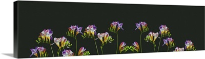 Surrealistic Collage, Many Colorful Freesias, Blooms, Buds, Vintage Macro