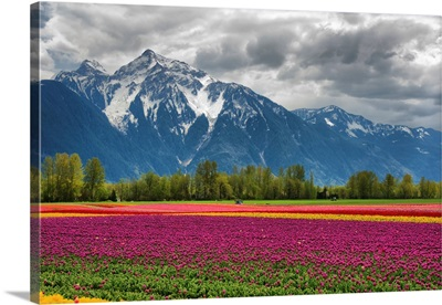Tulips And Mountain