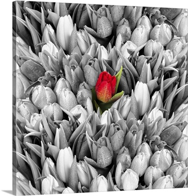 Tulips, Black White With One Red Flower