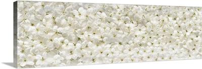 White Cherry Flowers Panoramic Background