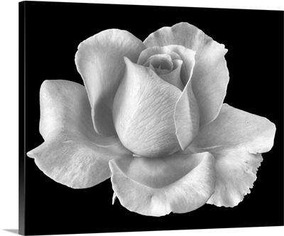 White Rose Blossom