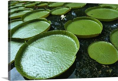 Africa, Mauritius, Pamplemousses botanical garden, giant waterlilies