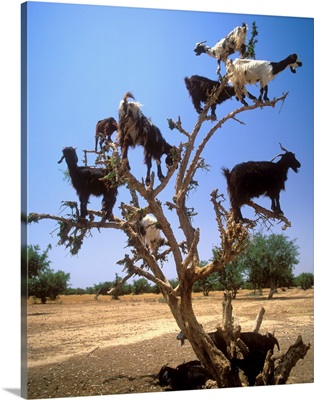 Africa, Morocco, Al-Magreb, Dades Valley, goats on a tree