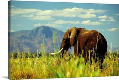 Africa, Zambia, Elephant along Zambesi river