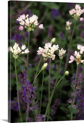 Allium nepetella