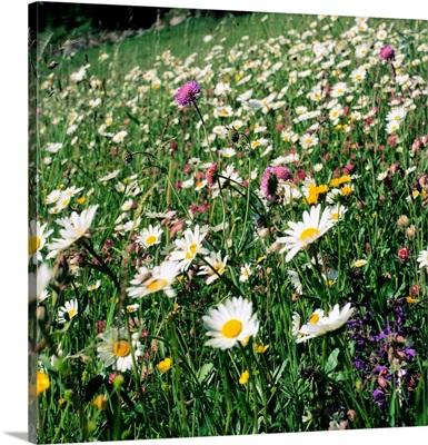 Alpine meadow with daisy