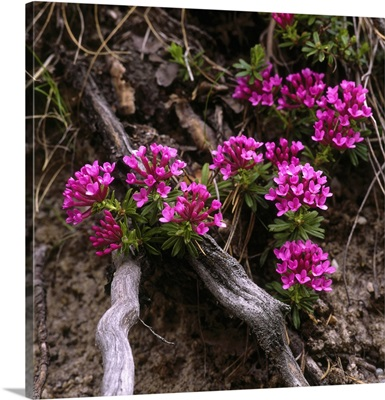 Alps, Garland Flower (Daphne Striata)