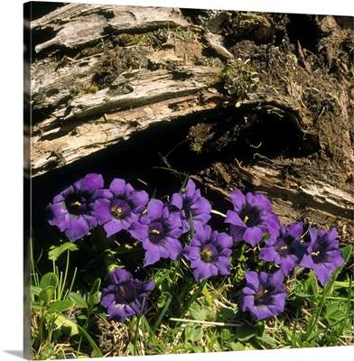Alps, Gentian (Gentiana acaulis)