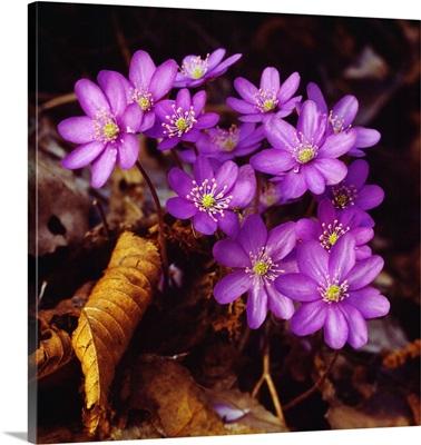 Alps, Hepatica Triloba, purple flowers