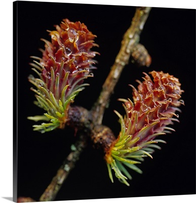 Alps, Larch sprout