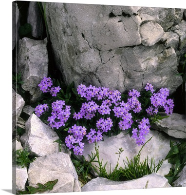 Alps, Myosotis alpestris