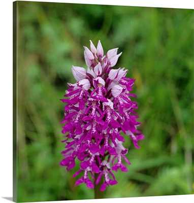 Alps, Orchid