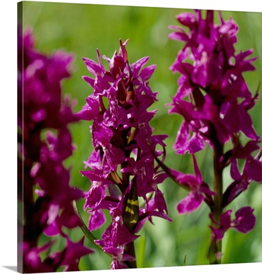 Alps, Orchid (Dactylorhiza)
