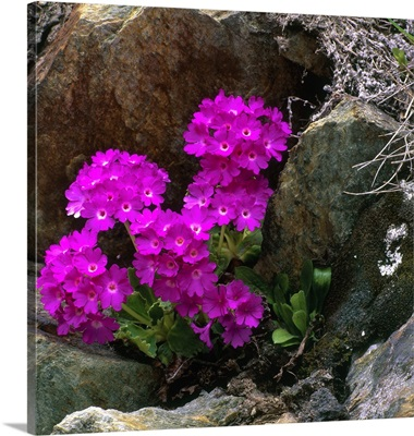 Alps, Pedemont Primrose (Primula pedemontana)