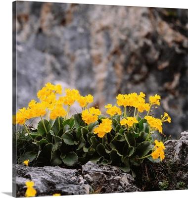Alps, Primrose (Primula auricola)