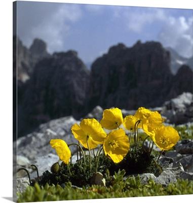 Alps, Rhaeticum Poppy ( Papaver rhaeticum )