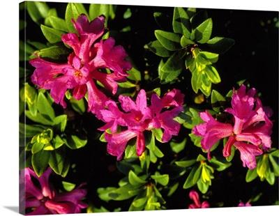 Alps, Rhododendron ferrugineum