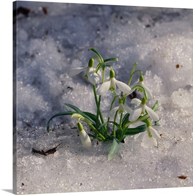 Alps, Snowdrops (Galanthus nivalis)
