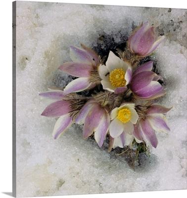 Alps, Spring Pasque Flower (Pulsatilla vernalis)