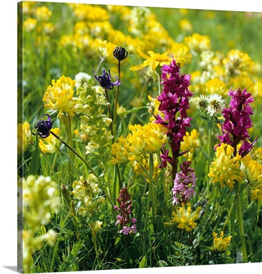 Alps, Wildflowers