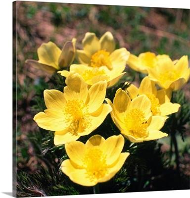 anemone, Alpine Flower, pulsatilla anemone