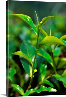 Asia, Ceylon, Sri Lanka, Central Province, Tea plantation