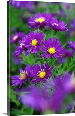 Aster novi-belgii 'Coombe Rosemary'