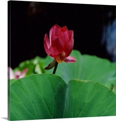 Australia, Northern Territory, Lotus flower