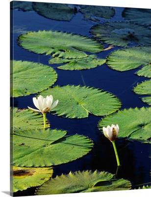 Australia, Northern Territory, Waterlily
