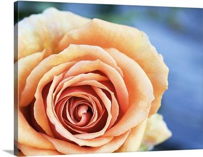 Australia, South Australia, Kalangadoo, Ashram rose, Bred by Tantau