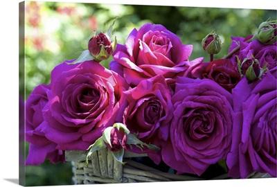 Australia, South Australia, Kalangadoo, Big Purple rose
