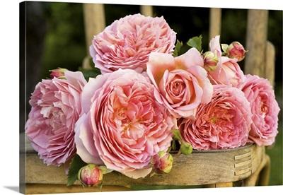 Australia, South Australia, Kalangadoo, Jubilee Celebration rose