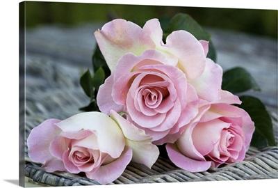 Australia, South Australia, Kalangadoo, Violina rose, Bred by Tantau