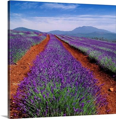 Australia, Tasmania, Lavender field