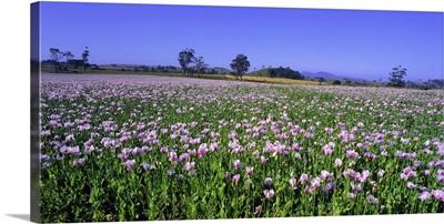 Australia, Tasmania, Poppies field