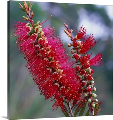 Australia, Tasmania, Wildflower