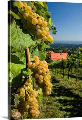 Austria, Styria, Central Europe, Kitzeck im Sausal, Sausaler wine road, vineyard
