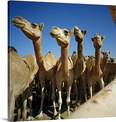 Bahrain, Al-Bahrayn, Manama, Camel farm for camel race