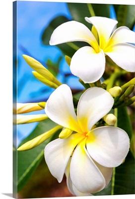 Barbados, Lesser Antilles, Windward Islands, Caribbean, West Indies, Plumeria