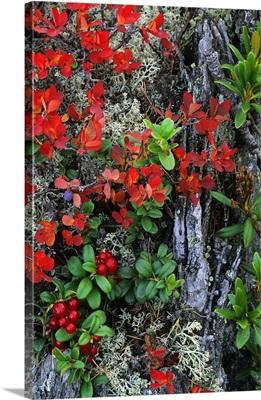 Bilberry plant