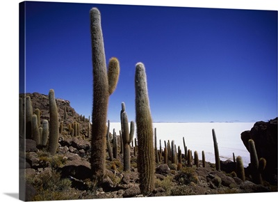 Bolivia, Salar de Uyuni, Isla del Pescado, cactuses in the salt flat