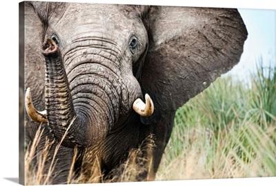 Botswana, Ghanzi District, Kalahari Desert, Bull Elephant Charging